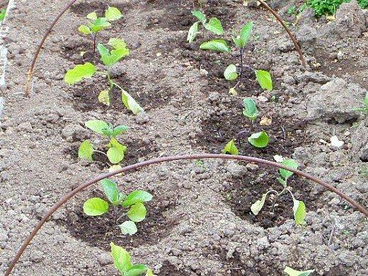 как правильно вырастить рассаду любых овощей - высадка баклажан в открытый грунт