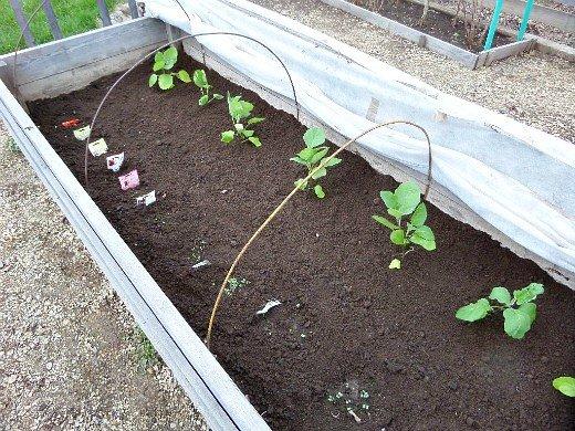 как правильно вырастить рассаду любых овощей - высадка баклажан в парник