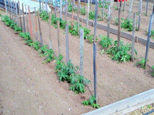 как правильно вырастить рассаду любых овощей - высадка помидор в открытый грунт