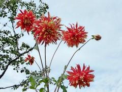 Как ухаживать за георгинами летом и осенью на даче, в саду, подготовка к зиме