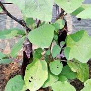 посадка и выращивание баклажанов в теплице - овощи
