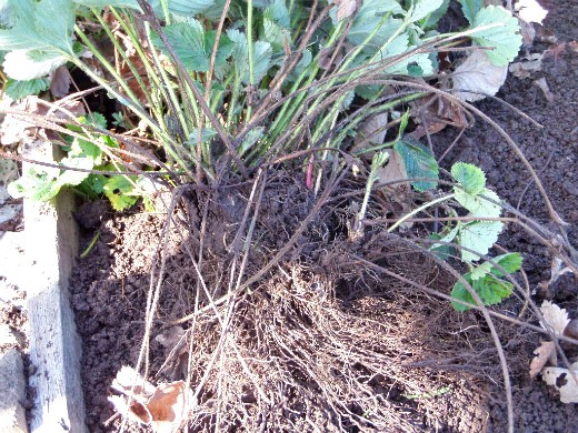 посадка клубники осенью и весной хорошие корни
