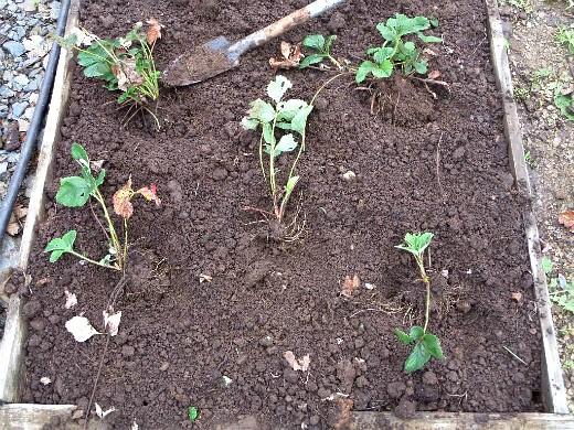 посадка клубники осенью и весной - копаем лунки