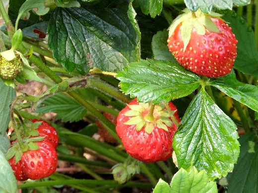 посадка клубники осенью и весной - летний урожай ягод