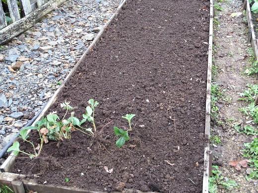 посадка клубники осенью и весной - подготовка рассады