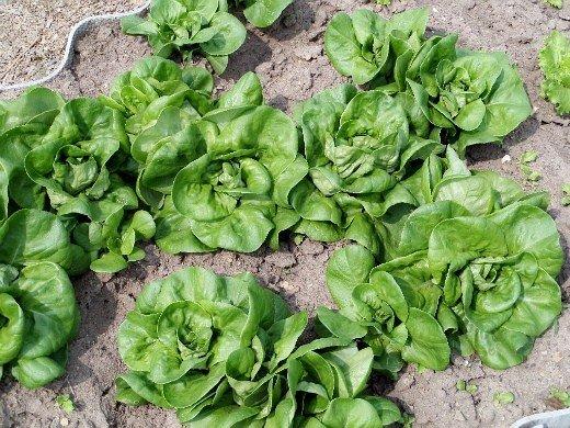ранние посевы овощей - салат