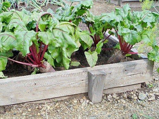 ранние посевы овощей - свекла