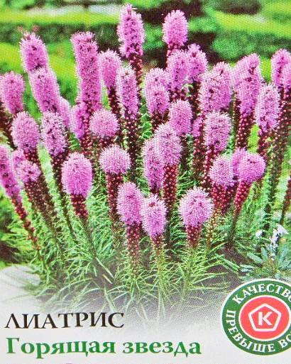 цветы лиатрис, посадка и уход - семена сорт горящая звезда
