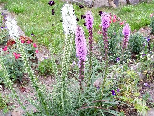 цветы лиатрис, посадка и уход - на дачной клумбе