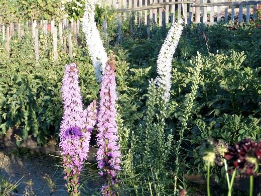 цветы лиатрис, посадка и уход - на даче