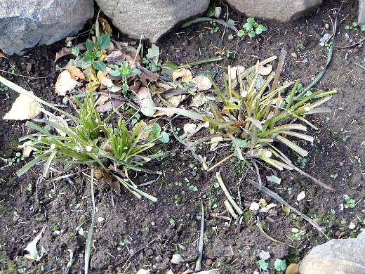 цветы лиатрис, посадка и уход - осенью, после обрезки на зиму