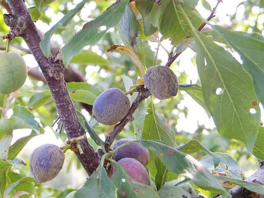 болезни сливы серая гниль плодов
