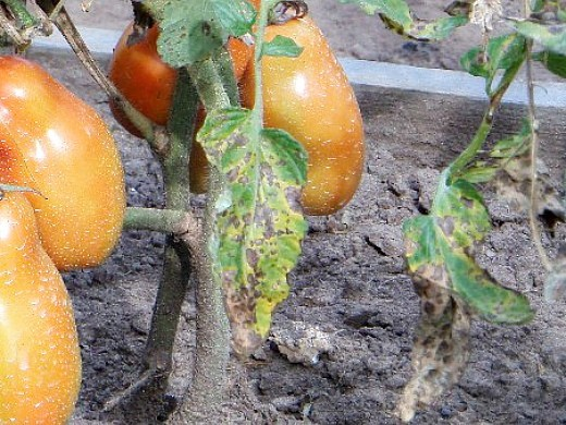 фитофтора на помидорах как бороться 3