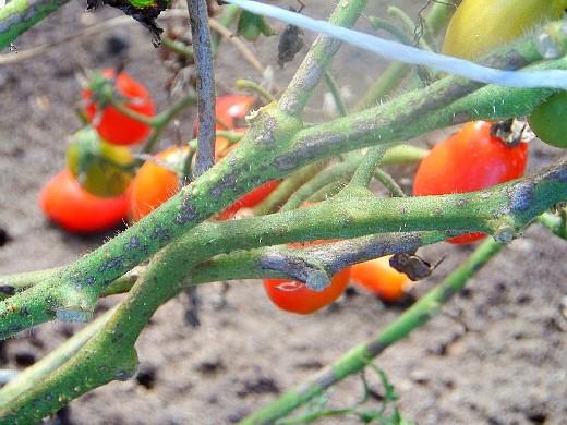 фитофтора на помидорах как бороться - на стволе томата