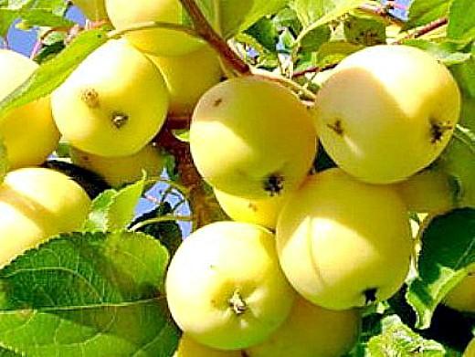 лучшие сорта яблонь с описанием и фото - уральское наливное
