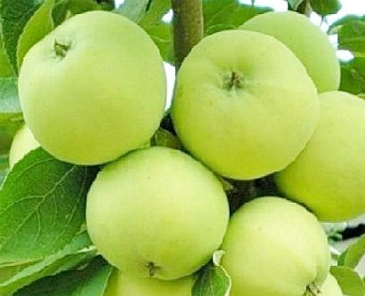 лучшие сорта яблонь с описанием и фото - алебастровое(папировка)