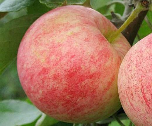 лучшие сорта яблонь с описанием и фото - мантет