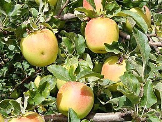 лучшие сорта яблонь с описанием и фото - золотое летнее