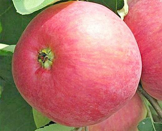 лучшие сорта яблонь с описанием и фото - жигулевское