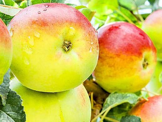 лучшие сорта яблонь с описанием и фото - чудное