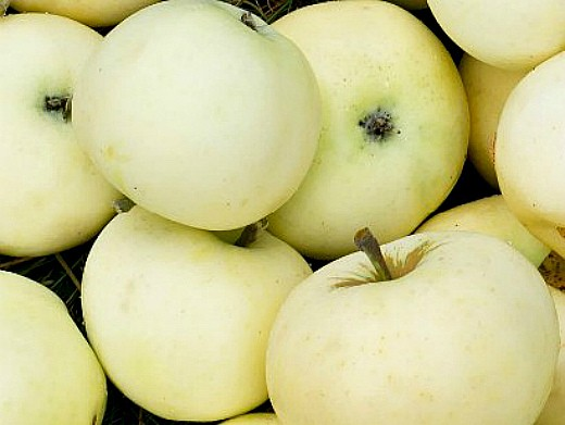 лучшие сорта яблонь с описанием и фото - белый налив