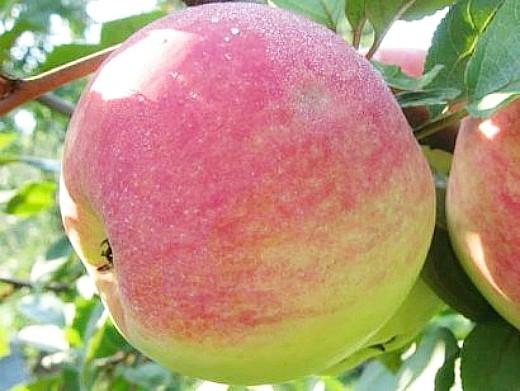 лучшие сорта яблонь с описанием и фото - мельба
