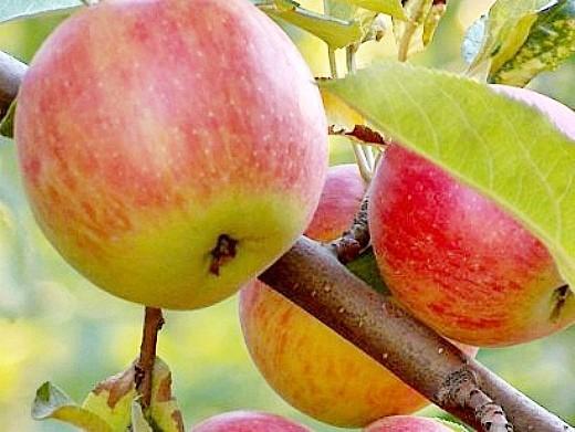 лучшие сорта яблонь с описанием и фото - лигол