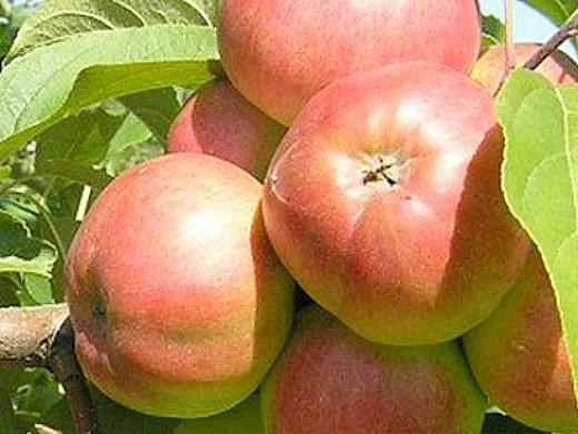 Спелые яблоки фото