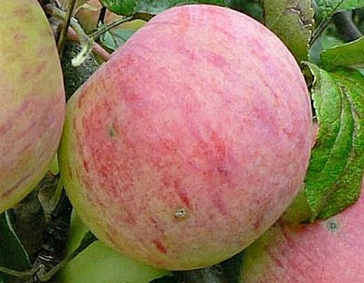 лучшие сорта яблонь с описанием и фото - осеннее полосатое