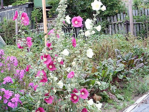цветы мальва многолетняя, посадка и уход - на дачной клумбе