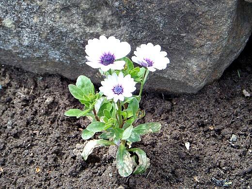 Низкорослые цветы для клумбы — фото и названия