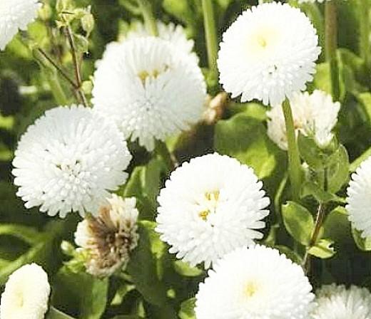 Пионы травянистые, сорта, гибриды пиона купить в в