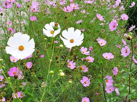 цветы космея, выращивание из семян - на даче