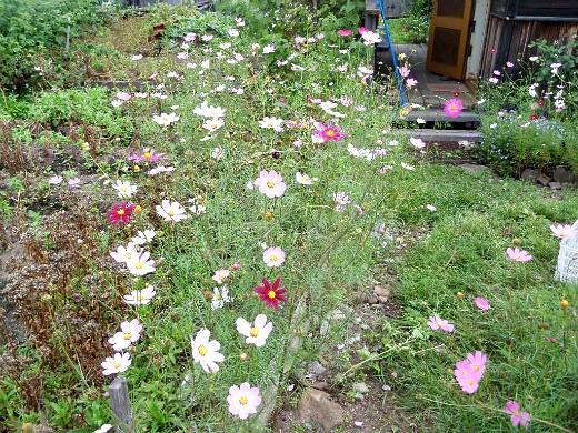 цветы космея, выращивание из семян - на клумбе