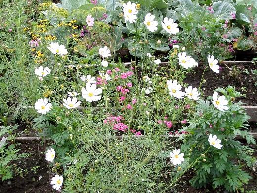 цветы космея, выращивание из семян - на дачной клумбе