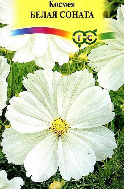 цветы космея, выращивание из семян, семена сорт белая соната