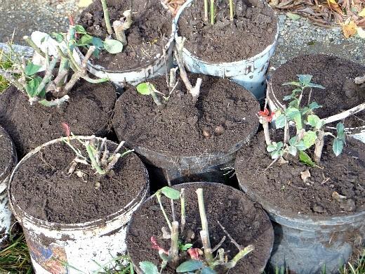 укрытие и обрезка роз на зиму - осенью выкапываем ёмкости с цветами для хранения в подвале