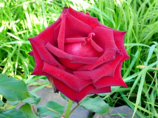 укрытие и обрезка роз на зиму - на даче