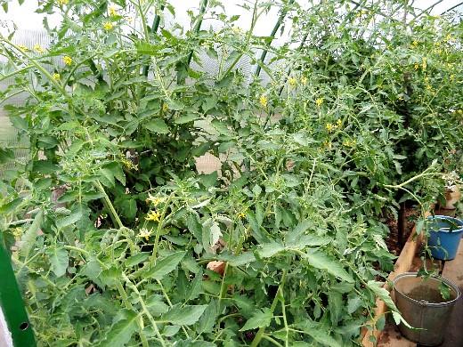выбор теплицы для дачного участка - помидоры в теплице из поликарбоната