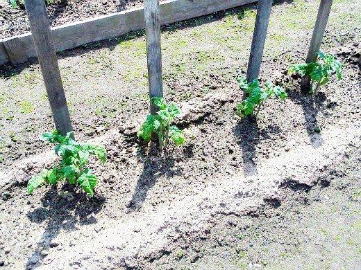 выращивание рассады помидор в домашних условиях - высаженная в грунт