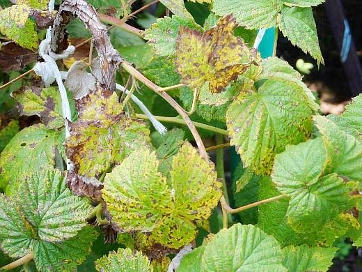 болезни и вредители малины, белая пятнистость
