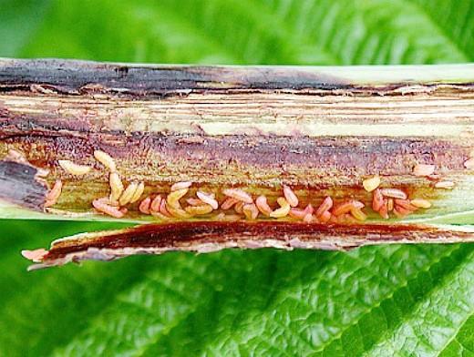 болезни и вредители малины, галлица (комарик)