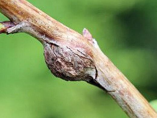 болезни и вредители малины, комарик (галлица)