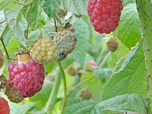 болезни и вредители малины, серая гниль