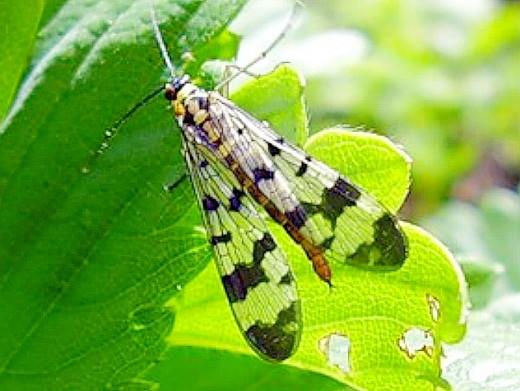 болезни и вредители малины, стеблевая муха