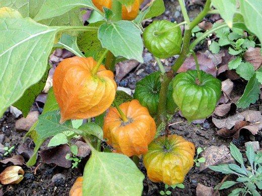 физалис овощной, выращивание из семян - краснеющие коробочки