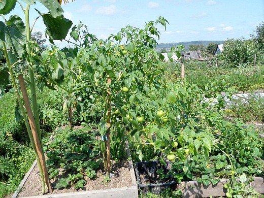 физалис овощной, выращивание из семян на грядке