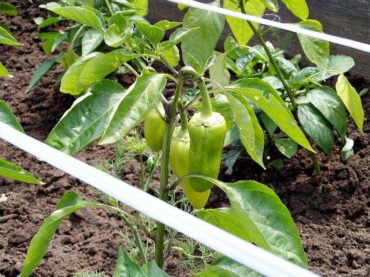 как вырастить рассаду сладкого перца - молодой перец