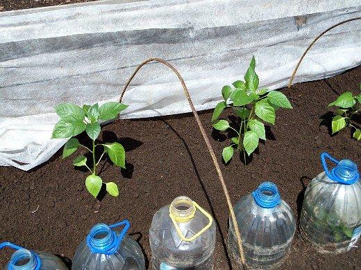 как вырастить рассаду сладкого перца - пересадка в парник