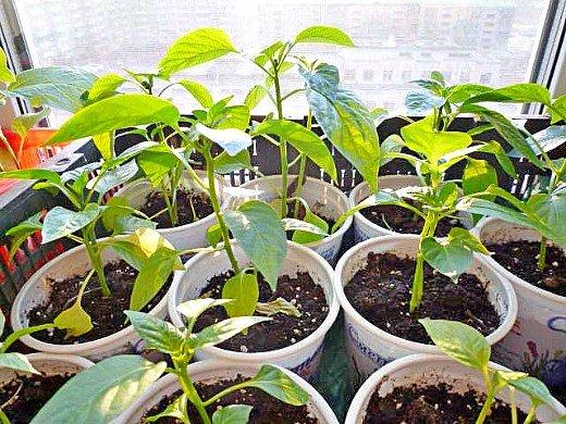 как вырастить рассаду сладкого перца - пикирование